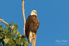 Regal Bald Eagle