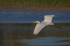 Sunset Glide (SDRPhoto321 Back from the field) Tags: art animal air botanical bird birding birds black blue bright beach dof depthoffield dark canon color colorful eos expression eye elevated eyes exposure egret florida feathers great gold haven heron inspiring intercoastal inspire standing capture flight