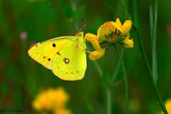 petit souci (jpto_55) Tags: papillon souci macro bokeh xe1 fuji fujifilm fujixf55200mmf3548rlmois hautegaronne france