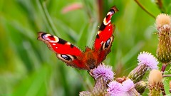 Butterfly - 3382 (YᗩSᗰIᘉᗴ HᗴᘉS +6 500 000 thx❀) Tags: butterfly papillon flower macro red peacock nature hensyasmine