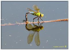Libellule_02 (arno18☮) Tags: artofimages libellule genève suisse nature insecte