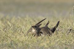 Collared Pratincole (wietsej) Tags: collared pratincole sony rx10iii rx10m3 bird ultima frontiera wildpix danube delta romania