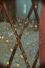 weeds keep growin' (annapolis_rose) Tags: vancouver mountpleasant eastvan ironwork weeds flowers backalley