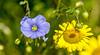 072117769 (TAHARFR) Tags: macro profondeurdechamp nikon105f28 flower nature green couleurs colors summer naturphotography explore closeup fleur plante jardin explored bokeh