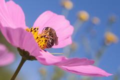 Visiteur gourmand (clamar18) Tags: mérysurcher fleurs insecte jardin abeille cosmos flower