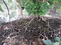Xylocarpus granatum (reuben.lim) Tags: xylocarpus granatum xylocarpusgranatum meliaceae nyirehbunga mangrovecannonballtree cannonballmangrove nyirih nyirihhudang
