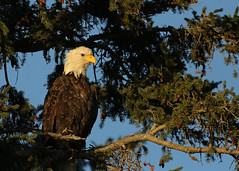Bald Eagle...#7 (Guy Lichter Photography - 3.6M views Thank you) Tags: canon 5d3 canada manitoba hecla wildlife animal animals bird birds eagle eagles baldeagle
