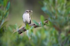 Northern Mockingbird (RawComposition) Tags: bird birding nature wildlife wild california green outdoors bokeh nest nesting nikon d810 nikon200500 spring