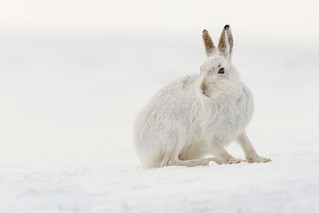 Mountain Hare - Best side
