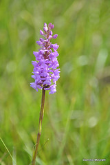 Heath Fragrant Orchid. (mcgrath.dominic) Tags: heathfragrantorchid orchid wildflowers theburren coclare