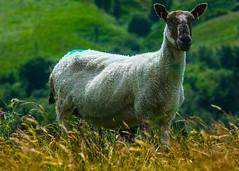 See Ewe ! (TrevKerr) Tags: pennines sheep nikon d7000 70210f28