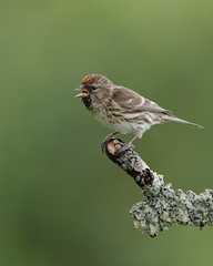 Lesser redpoll (Andy Davis Photography) Tags: acanthiscabaret llinosbengoch redlist canon windy wet forestry uplands perched finch explored