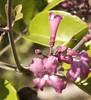 Fridericia parviflora (Mart. ex DC,) l G Lohmann - Bignoniaceae (robertoguerra10) Tags: fridericia parviflora bignoniaceae trepadeira flores cor lilas gavinhas