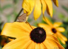 Just Waiting (John Neziol) Tags: jrneziolphotography nikon nikoncamera nikondslr nikond80 nature wildlife wings moth butterfly blackeyedsusan garden macro closeup bokeh brantford bright flower yellow