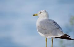 Ring-billed Gull in Blue (imageClear) Tags: gull bird ringbilledgull wildlife closeup nature aperture nikon d500 200500mm color imageclear flickr photostream