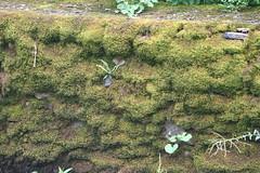Moss Art (eyriel) Tags: stone wall naature green moss artsy fern