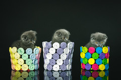 Three Kittens (WhiteShipDesign) Tags: color reflection cats animals background beautiful cute isolated colors art fun black cat three indoor colorful kittens decoration handmade britishshorthair vases craft