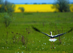 devAISTIHAvZLETAET-6811 (Alexander V. Svetlovsky) Tags: stork storks ukraine dnipro dniproregion bird birds field blastoff start takeoff rise lifting yellow blue yellowblue bluesky sky