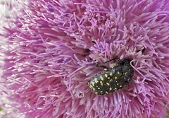 Bug (fdlscrmn) Tags: fauna bug flowers nature colours purple 7dwf closeup colorful