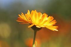 Sunburst (Through Serena's Lens) Tags: asteraceae light colorful sunny dof bokeh nature outdoor garden plant flower yellow closeup calendulabonbon eos6dmarkii canon 7dwf