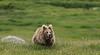 Himalayan brown bear (Zahoor-Salmi) Tags: himalayan brown bear nature birds animals wildlife wwf tv salmi flickr