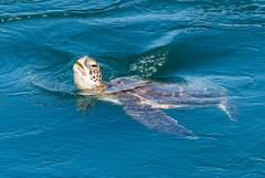 Green Sea Turtle (m e a n d e r i n g s) Tags: greenseaturtle california cheloniamydas