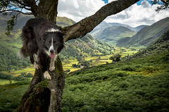 Pop up a Tree (JJFET) Tags: border collie sheepdog dog borrowdale lake district seatoller seathwaite tree climbing littledoglaughedstories