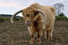 BO GHAIDHEALACH (New Forest Hampshire)  -  (Selected by GETTY IMAGES) (DESPITE STRAIGHT LINES) Tags: heilancoo highlandcow highlandcows kyloe cow cattle heilancoosinthenewforest highlandcattleinbrockenhurst horns day cloud landscape nikon d7000 nikond7000 nikon18105mm nikkor18105mm boghaidhealach brindled fur grass field pasture farm farming hoof hooves dof photo photography frame raw image animal thenewforest newforest newforesthampshire thenewforestinhampshire brockenhurst hampshire england countryside rural getty gettyimages gettyimagesesp despitestraightlinesatgettyimages paulwilliams paulwilliamsatgettyimages