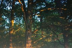 A gilded age (Picea abies) Tags: minoltaxd slr kodakgoldultra400 expired 35mm film summer evening goldenhour reverie
