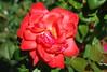 Gott, der Herr, der Mächtge zeuget (amras_de) Tags: rose rosen ruža rosa ruže rozo roos arrosa ruusut rós rózsa rože rozes rozen roser róza trandafir vrtnica rossläktet gül blüte blume flor cvijet kvet blomst flower floro õis lore kukka fleur bláth virág blóm fiore flos žiedas zieds bloem blome kwiat floare ciuri flouer cvet blomma çiçek