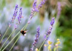 le vol du bourdon (karine_cattier) Tags: dof summer 52in2017challenge vibrant smileonsaturday uniflona