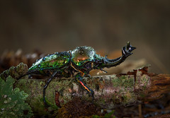 Joseph and the Amazing Technicolor Dreamcoat (Kathy Macpherson Baca) Tags: explore animal animals insect nature world beetle stagbeetle planet wildlife macro bug bugs earth forest creature color rainbow crawl fly invertabrate beautiful