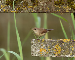 Reed Warbler (Acrocephalus scirpaceus) (microwyred) Tags: forestwoods beak reedwarbler severnvalleycountrypark birds places beautyinnature oneanimal animal small birdwatching wildlife nature tree feather branch bird animalsinthewild closeup outdoors brown abstracts perching animalwing