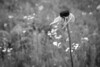 coneflower (Marigold Liz) Tags: bw flower endure summer old