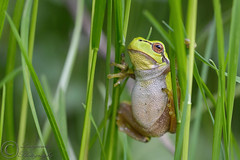 Common Tree Frog (laagwater) Tags: commontreefrog boomkikker hylaarborea nikond300 sigma150mmmacro netherlands