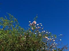 Simplicidade. (Ⱥndreia) Tags: sonydschx200v portugal póvoadevarzim parquedacidade citypark 2017 natureza nature flores flowers folhas leaves céu sky plantas plants