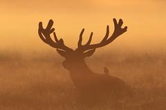 Red Deer stag (Hammerchewer) Tags: reddeer deer stage starlings animal wildlife outdoor