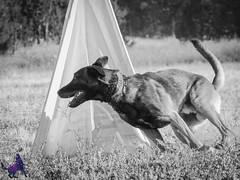 P7162591 (Songdog Studios) Tags: green dog neumond womensretreat 2017 k9 schutzhund ipo