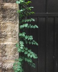 Gatethrough Green (whatsayjk) Tags: minimal minimalism green gate lines iphone life plant outdoor color leaves vine arkansas