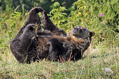 Stretch And Reach (PamsWildImages) Tags: bear grizzly animal nature wildlife canada bc playful pamswildlimages