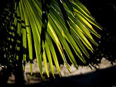 Protección solar (Luicabe) Tags: airelibre cabello enamorado exterior hoja lluvia luicabe luz naturaleza palmera planta sol sombra yarat1 zamora zoom ngc