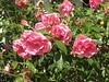 Hin und wieder sitzt noch eine Rose (amras_de) Tags: rose rosen ruža rosa ruže rozo roos arrosa ruusut rós rózsa rože rozes rozen roser róza trandafir vrtnica rossläktet gül blüte blume flor cvijet kvet blomst flower floro õis lore kukka fleur bláth virág blóm fiore flos žiedas zieds bloem blome kwiat floare ciuri flouer cvet blomma çiçek