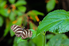 20170715-IMG_7345 (SGEOS@EARTH) Tags: vlindertuin vlinder vlinders butterfly butterflies vlindersaandevliet observer colorfull insects nectar indoor nature wildlife canon macro 100mm