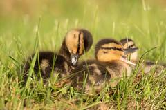 Li'l Quacker!! (NicoleW0000) Tags: mallard duckling ducklings cute wildlife dof bokeh outdoor
