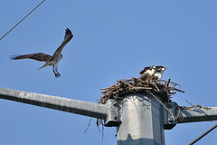 122 (GJSmith Photography) Tags: osprey gjsmith birds nikon d750 200m 500m clutch nest birding 500mm uper telephoto