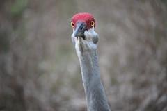 Powerful Eyes (Kenziu Garcia) Tags: sandhill crane male deltona lakes florida usa