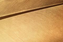 Texture, HMM! (adelina_tr) Tags: texture macro feather macromondays memberschoicetexture nikond5300 monochrome