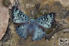 Lasaia sp. ( BlezSP) Tags: peru madrededios puertomaldonado bocapariamanu river neotropical