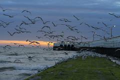 flushed (Blende1.8) Tags: seagull seagulls gulls möwe möwen nordsee northsea belgien belium westvlaanderen westflandern nieuwpoort pier lighthouse leuchtturm abend evening sunset sonnenuntergang carstenheyer seascape landscape sea meer sony alpha ilce7m2 a7ii sel fe 85mm