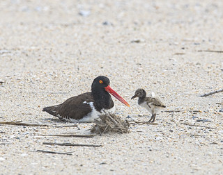 Oystercatcher Mom & chick